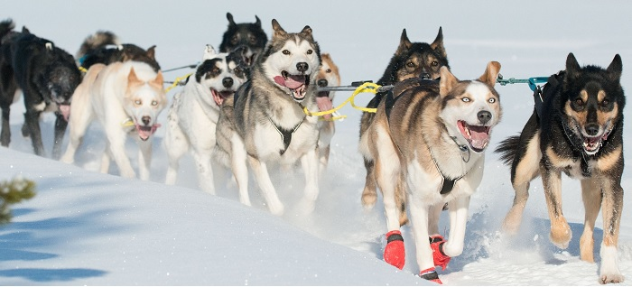 Wildnistour mit den Hundeschlitten - Äkäskero Finnland