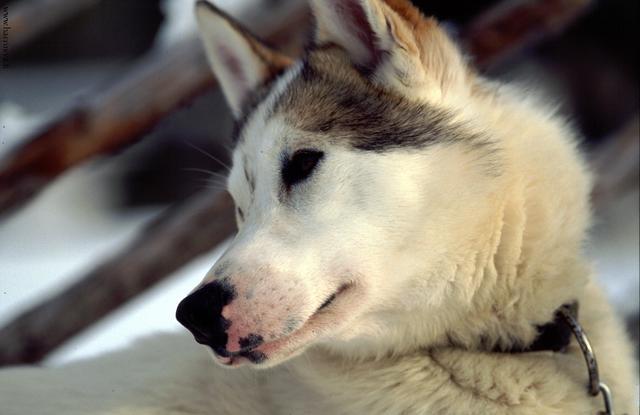 Hundeschlittentour Harriniva